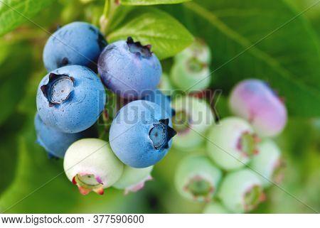 Ripening Blueberry Berries Growing On Bush, Vaccinium Corymbosum Plant