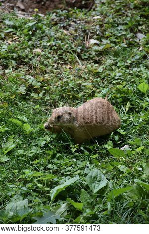 Adorable Prairie Dog Eating Pieces Of Grass.