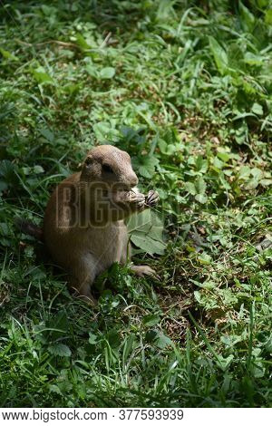 Cute Black Tailed Prairie Dog Standing On His Back Legs.