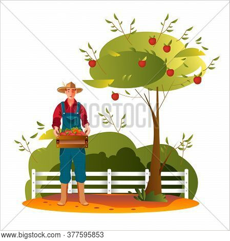Apple Harvest Autumn Illustration With Male Farmer Holding Crate, Fence, Bushes. Farming Agriculture