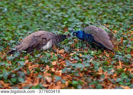 Two Peacock. Kissing Peacock Birds. Peacocks Of Love