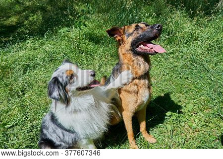 Australian Shepherd And German Shepherd Sit On Green Grass. Australian Shepherd Put His Paw On A Ger