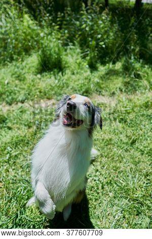 Australian Shepherd With Rare Ocular Heterochromia. One Eye Is Light Blue, The Other Brown. The Dog