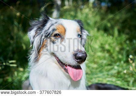 Portrait Of An Australian Shepherd With Rare Ocular Heterochromia. One Eye Is Light Blue, The Other
