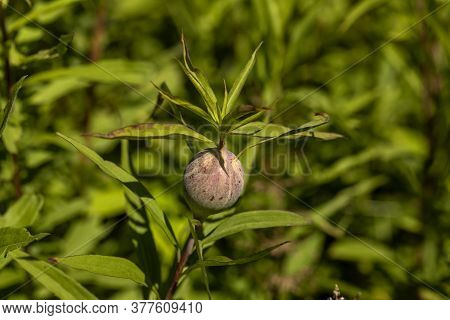 The Goldenrod Gall Fly,  Also Known As The Goldenrod Ball Gallmaker, Is A Species Of Fly Native To N