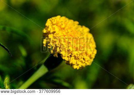 Yellow Marigold Flower (african Marigolds, Tagetes Erecta) On Flowerbed