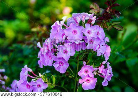 Purple Phlox Flowers On A Flowerbed At Summer