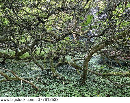 Southern Catalpa, Cigartree, Indian-bean-tree, Trumpet Tree, Catalpa Bignonioides Or Trompetenbaum -