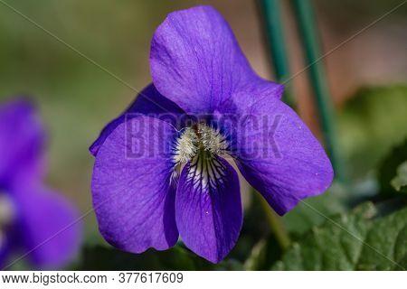 Beautiful Spring Flower. Top View Of Violaceae : Viola Sororia - Woolly Blue Violet (common Blue Vio