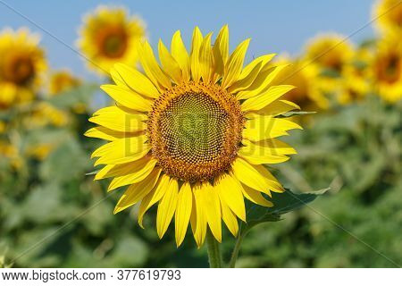 Sunflower Natural Background. Sunflower Blooming. Close Up Of Sunflower.