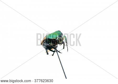 Green Scarab Beetle. Isolated on white. Room for text. June Bug.  Scarab Beetle.
