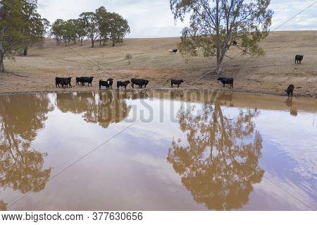 Cows Drinking From An Irrigation Dam On A Farm In Regional Australia