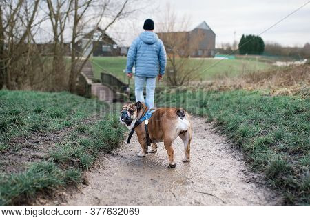 Man And English Bulldog / Dog Go For A Walk In The Park