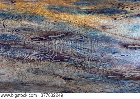 The Imprint Of The Bark Beetle Under The Bark Of The Tree. Pattern On Tree Trunk Log After Damage Ca