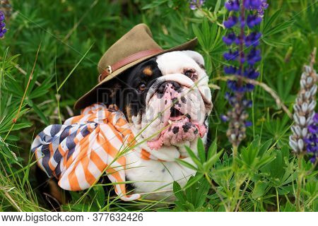 Black And White English Bulldog Wearing A Scarf And Hat Out For A Walk Sitting In The Grass