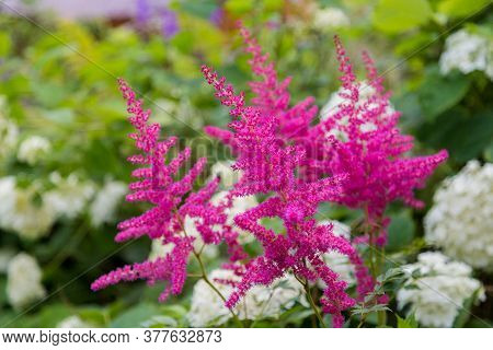 Hot Pink Flower Plumes Of Astilbe Plant