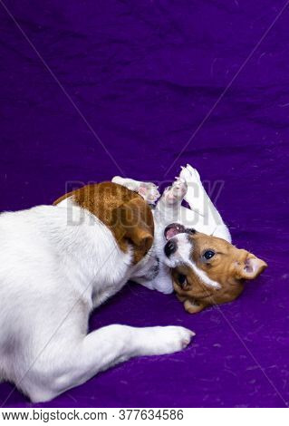 Jack Russell Terrier Playing With His Puppies On A Purple Background, Vertical Format