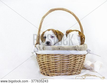 Cute Two Puppies Jack Russell Terrier Are Sitting In An Easter Basket Sticking Out Their Muzzles Wit