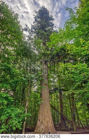 With A Girth Of 6.8 M And A Height Of 53 M, One Of The Tallest Silver Firs In Germany, The 500 - 700