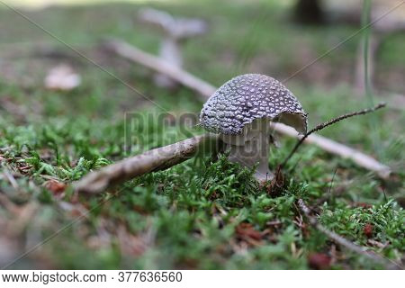 The Gray Toadstool (amanita Spissa - On Picture) Is An Edible Mushroom. It Is Very Easily Interchang