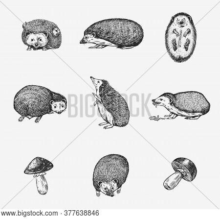 Hedgehog Set. Spiny Forest Animal. Vector Engraved Hand Drawn Vintage Sketch For Label Or Poster.