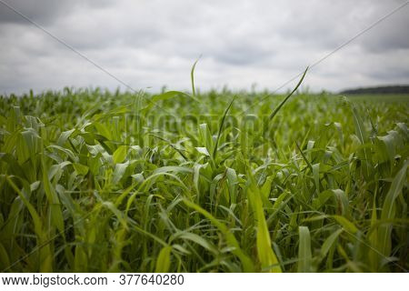 Corn Field In Summer. Agriculture. The Corn Is Not Yet Ripe. Natural Background Of Rural Life. View