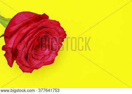 A Red Rose Isolated On Yellow Background. Red Flowers Isolated. Flat Lay. Copy Space. Postcard. Plac