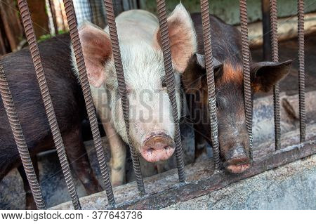 Swine In The Cage . Rustic Pig Farm
