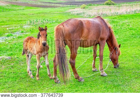 Mare And Baby Foal On The Green Meadow