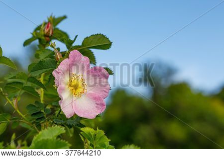 The Wild Rose Bush Blooms In The Spring. Bright Beautiful Rosehip Flowers Of Delicate Pink Color Opp