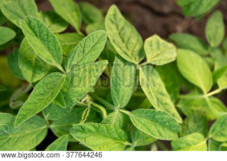 Soy Leaves Close-up. Experimental Fields For Gene Modification Or Farm