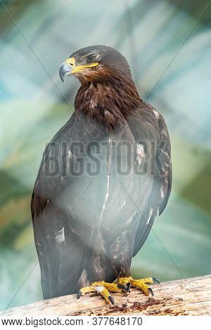 The Bird Of Prey, Black Kite, Proudly Perched On A Branch In The Aviary And Looks Closely. Milvus Mi