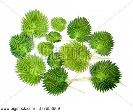 Green tropical leaves on white background. Licuala grandis leaf (Fan Palm) tropical green isolate on white background.