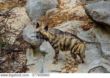 Striped Hyena (hyaena Hyaena) On A Stone