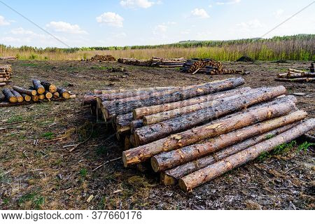 Stacked Tree Logs Of Pine Wood In Forest. Forest Felling. Timber Storage