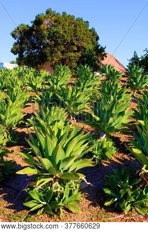 Rows Of Agave Plants At A Drought Tolerant Garden Taken In A Residential Yard