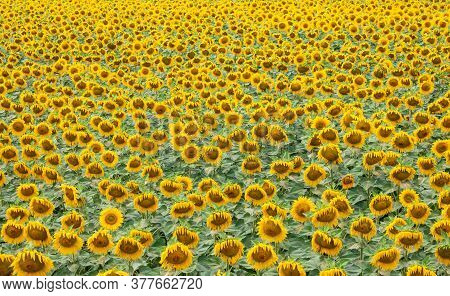 Sunflower Is A Natural Background. Beautiful Landscape With Yellow Sunflowers. Sunflower Field, Agri