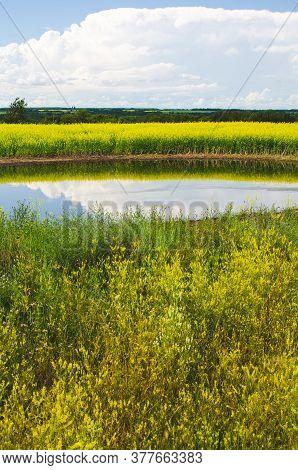 Vibrant Yellow Canola Fields In Rural Manitoba, Canada