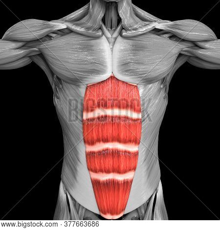 3d Illustration Concept Of Human Muscular System Torso Muscles Rectus Abdominis Muscle Anatomy