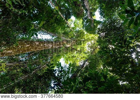 Tree Top In Rainforest Jungle,masoala National Park In Madagascar, A Unesco World Heritage Site, Woo