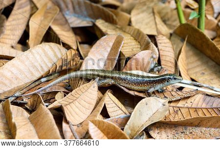 Madagascar Girdled Lizard Or Madagascar Plated Lizard (zonosaurus Madagascariensis), Nosy Mangabe Na