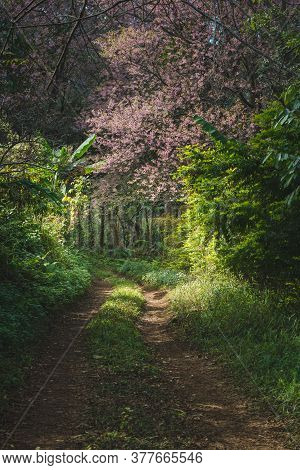 The Scenery Of The Pink Cherry Blossom Or Sakura And The Route In A Jungle At Doi Chang, Chiang Rai,