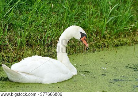 One White Swan With Orange Beak, Swim In A Pond. Duckweed Floats In The Water