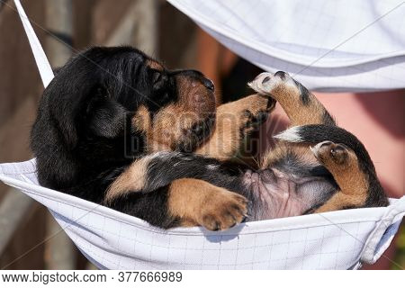 Jack Russell Terrier Puppy Lies In A Mask. A Womans Hand Is Holding The Puppy