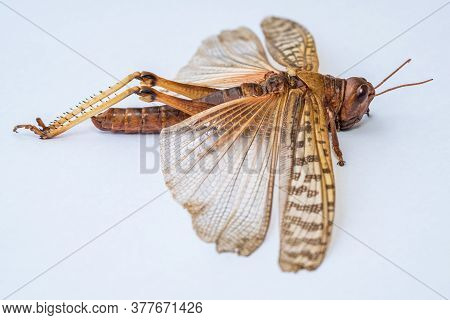 A Close-up View Of A Juvenile Desert Locust Specimen Against A White Background