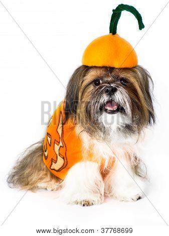 Pumpkin Doggy