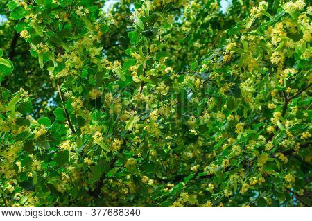 Linden Blossom On Linden Branches. Linden Flowers On The Tree. Background From A Blossoming Linden T