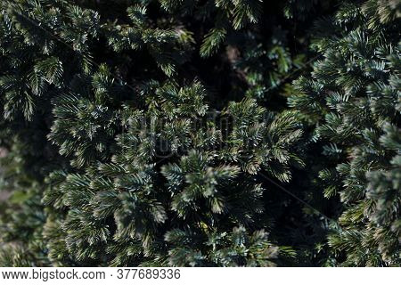 Flaky Juniper Blue Star Tree Branch Texture Green Needle Background. Juniperus Communis Bush Evergre