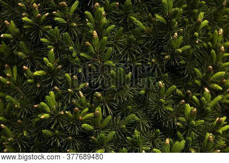 Bright Green Young Spruce Shoots. Spring Evergreen Coniferous Background. Spruce Branches Close-up.