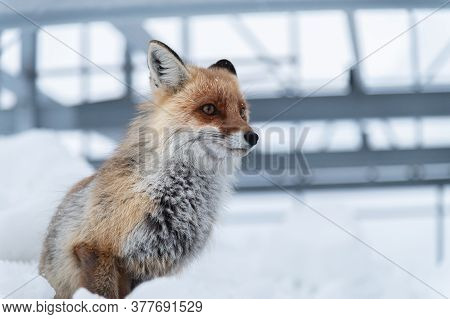 A Close-up Red Fox Sits In The Snow Against A Backdrop Of Metallic Structures. The Concept Of Living